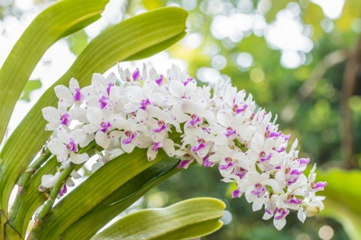 white-and-purple-orchid-rhynchostylis-gigantea-picture-id1154396514_1024x1024